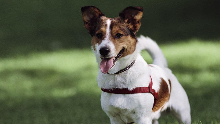 Jack Russell Terrier in Central Park