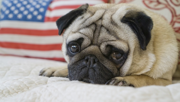 A young pug looks mournful while lying on a couch