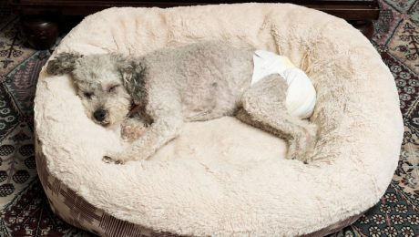 Gold Souls, Gray Faces: 8 Ways To Deal With Incontinence In Senior Dogs