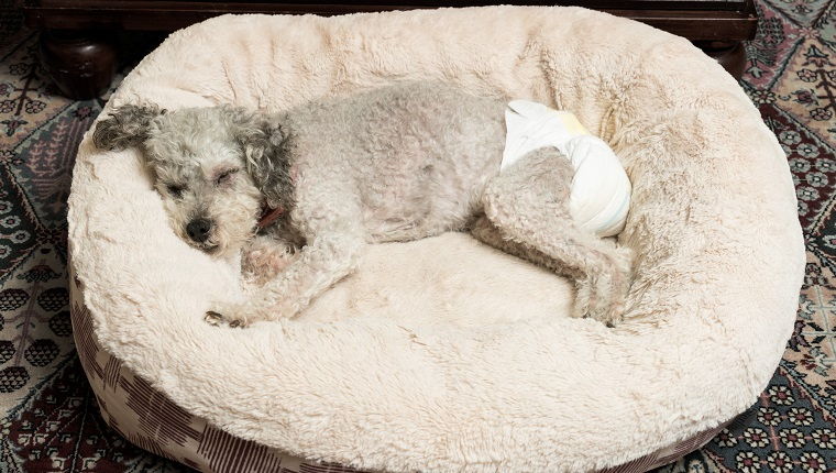 Old yorkshire terrier poodle mix dog asleep on her bed and wearing a doggy diaper for incontinence