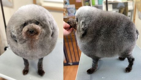 Is That A Sheep Or A Dog? Poodle's New Haircut Goes Viral!