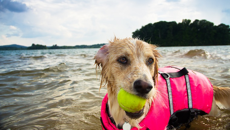Retriever Dog playing with tennis ball in lake