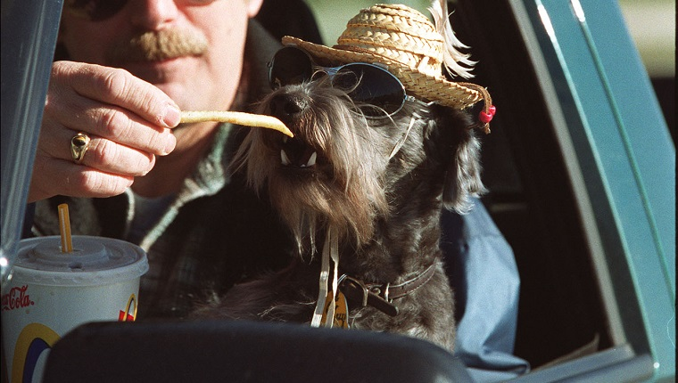 "Two year old ""snoodle,"" (snauser poodle mix) Guy, 2, wearing sunglasses and a straw hat, snacks on french fries from the hand of his owner Karl Wiklund. They had just come through the drive-thru at McDonalds and were chowing down together. The family who are from Bancroft, were in Hamilton visiting Karl's mom. I asked Karl why the dog was in the glasses and hat, and he replied, ""for the UV rays."" But the truth is closer to the fact that Karl and his wife Carmen own a tent and trailer camp in Bancroft, so they began dressing Guy to cater to the kids there, and it caught on.(this was taken about noon)"