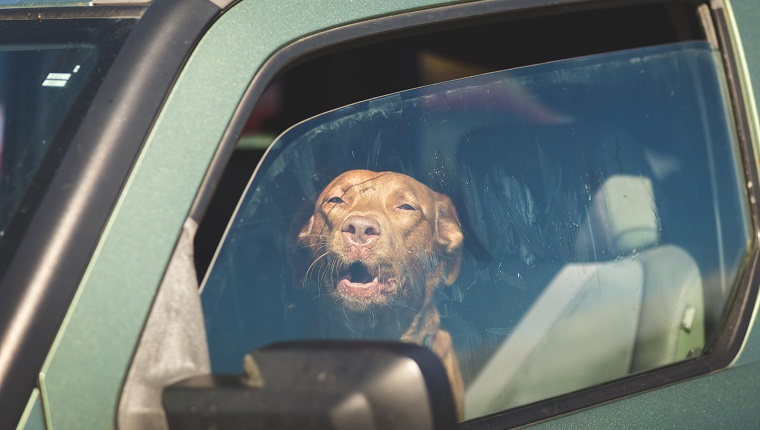 Brown pet dog sitting inside a vehicle gazing out of a window.