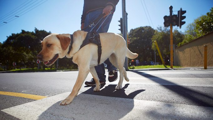 It's National Guide Dog Month! Guide Dogs In Action - Dogtime