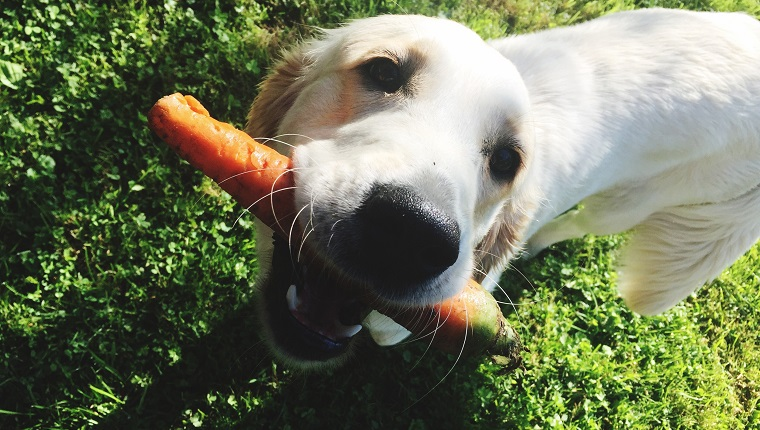 Portrait Of Dog Holding Carrot In Mouth On Field