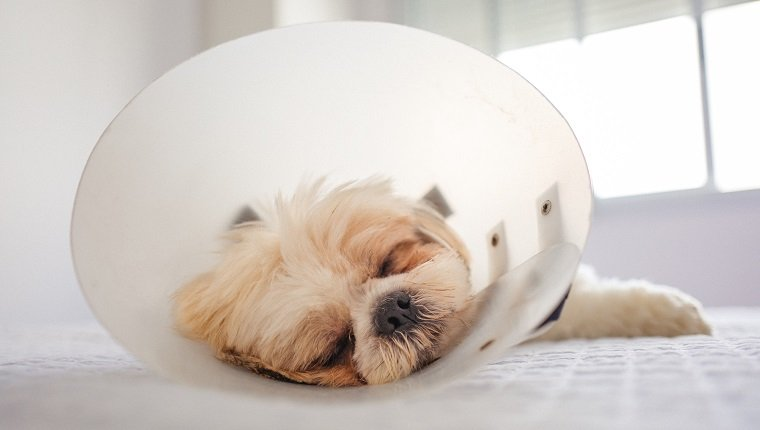 Portrait Of Shih Tzu With Protective Cone Collar after a Operation.