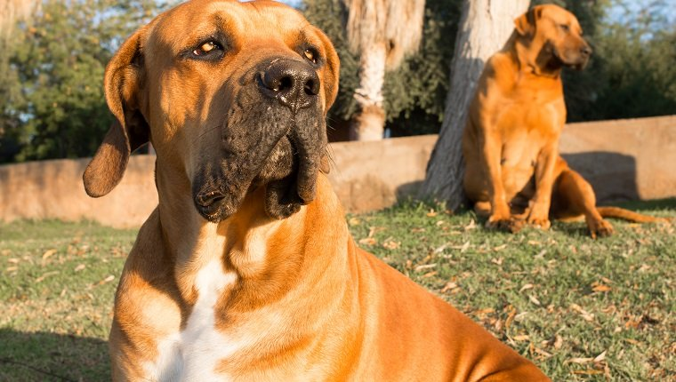 Portrait of a young male Boerboel dog sitting on the lawn on an early summer morning.