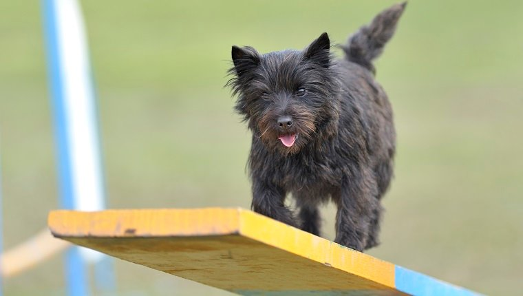 Cairn Terrier on teeter totter obsdtacle on agility course