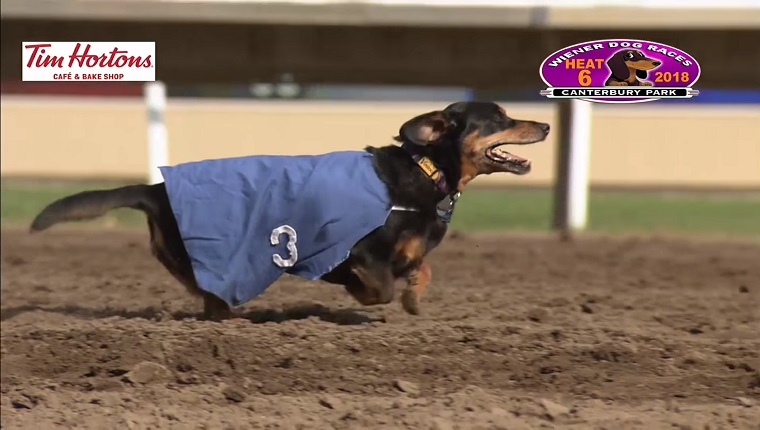 three legged dachshund wins wiener dog race and our hearts dogtime