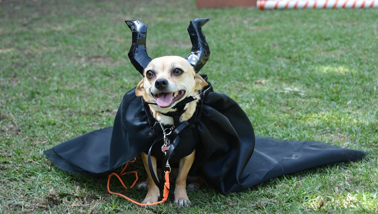 Cute chihuahua pet dog wearing a Maleficent's homemade costume