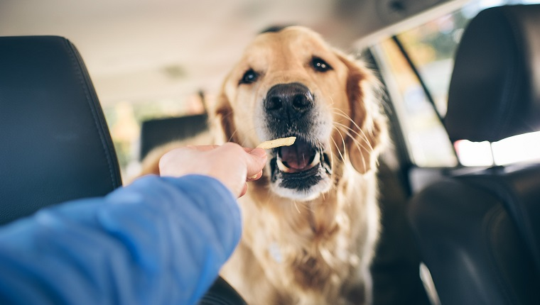Golden retriever eats a french fry