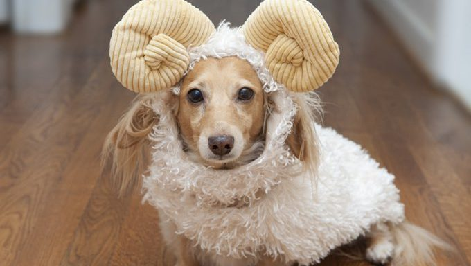 dachshund dressed as ram