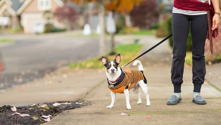 A mom waits for her trick or treating children. She is on the sidewalk with her dog, who is dressed in orange and black, and she is wearing a pirate sash and sword.