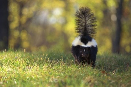 Natural, Safe Remedies To Keep Skunks Away From Your Dog