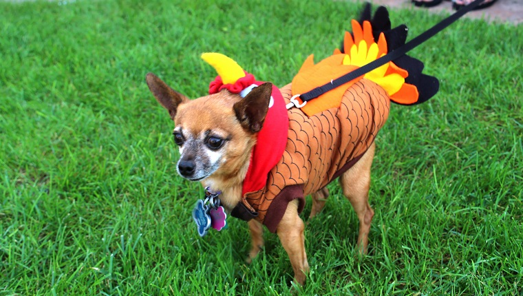 A Chihuahua dog dressed as a Thanksgiving turkey.