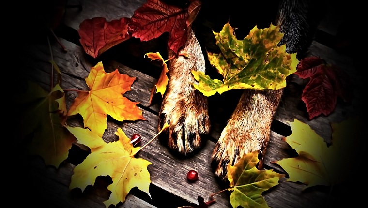dog, animal, pet, feet, hair, nature, wood, planks, leaf, leaves, autumn, cranberries, red, gray, brown, black, orange, yellow, green,autumn, cranberries