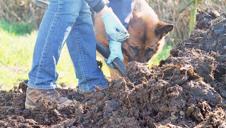 surface view of woman digging organic compost heap, her german shepherd dog is trying to help