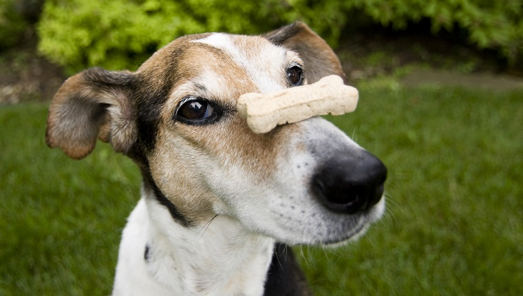 Beagle mix balancing dog bone on nose, concept for patience, waiting