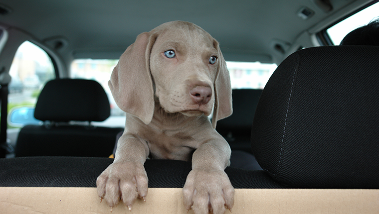 Weimaraner puppy sitting in the backseat
