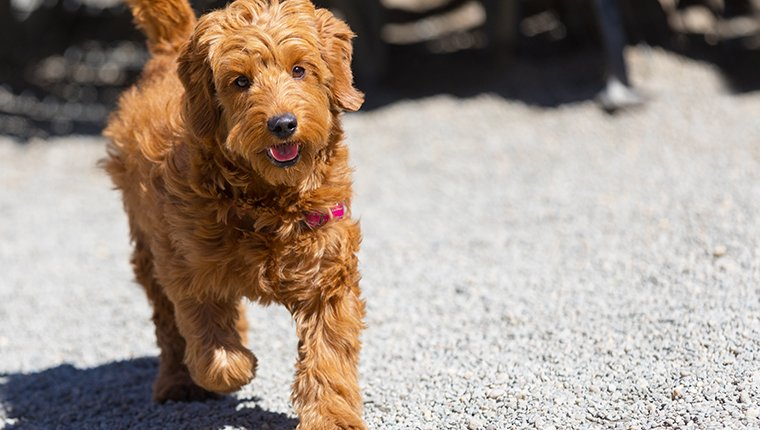 Miniature goldendoodle puppy running in a dog park