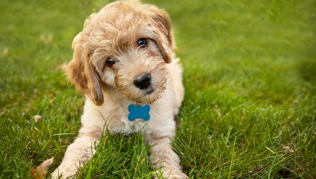 Goldendoodle Puppies: Pictures And Facts