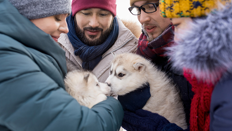 alaskan malamute puppies meeting with humans in winter