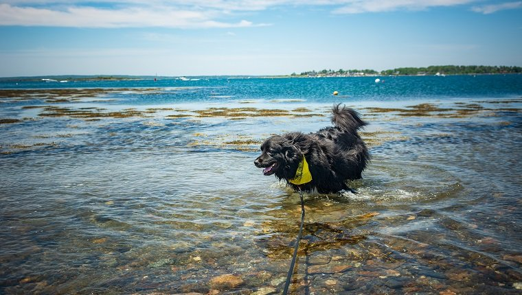 """Bear"" the 2 year old Newfoundland dog enjoys playing in the ocean and cooling off in a cove in Harpswell, Maine on a warm, bright, sunny Father's Day. Deep blue sky and turquoise water in the distance."