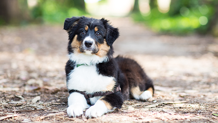 An Australian Shepherd puppy lays on a dirt path strewn with leaves outdoors and looks curiously at the camera.