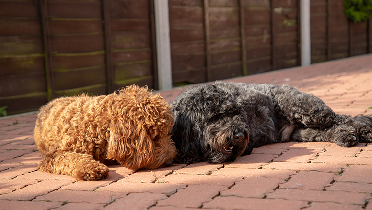 Two Cockapoo dogs
