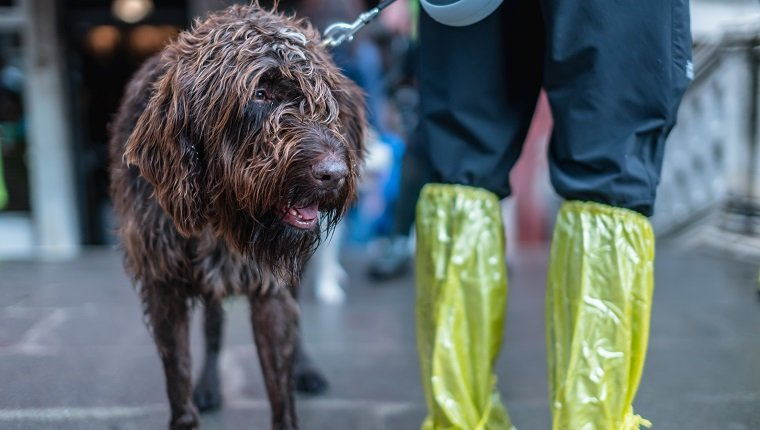 furry brown dog with man wear rain plastic boot raining season venezia italy