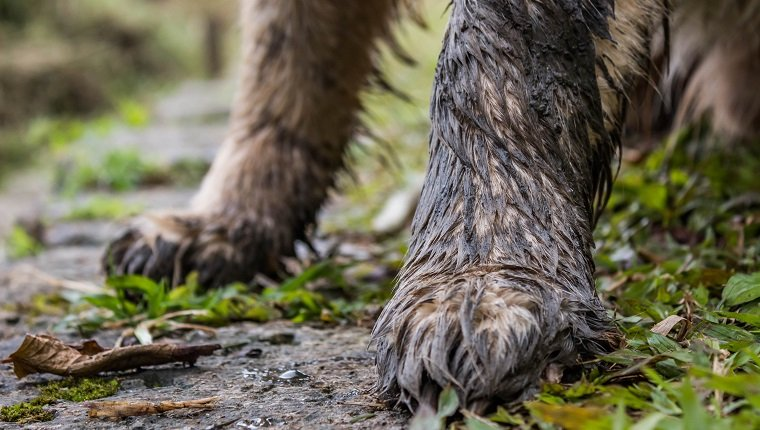 Muddy paws on a golden retriever dog