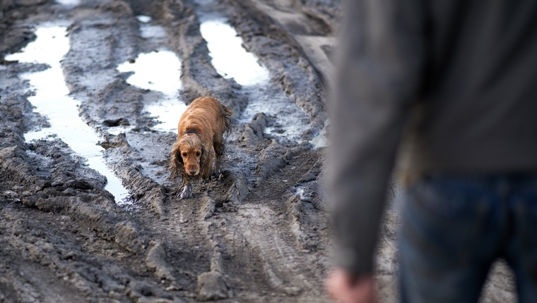 dog comes out of the mud guiltily to the owner