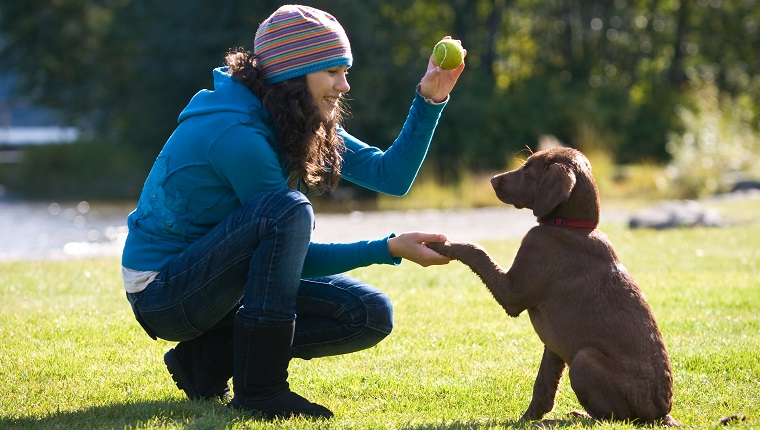 A young woman training a chocolate lab puppy to shake hands at a park.