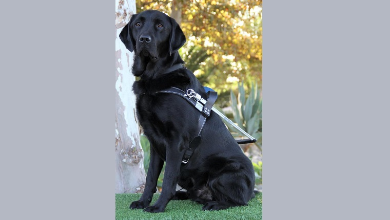 guide dog raised by mary for guide dogs of america