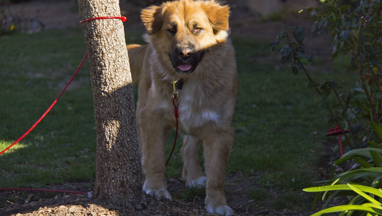 Golden Shepherd Mixed Dog Breed Pictures Characteristics