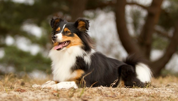 Border Sheepdog Mixed Dog Breed Pictures Characteristics