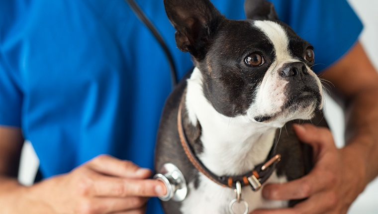 Boston Terrier dog being examined by a vet using stethoscope. Professional veterinarian examining his patient cute puppy. Closeup of hand using a stethoscope on a puppy.
