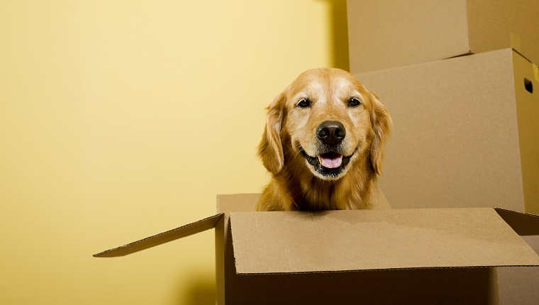 """A five year old happy Golden Retriever sitting in a moving box, with other boxes stacked against the wall. """"Dutchess"""""""