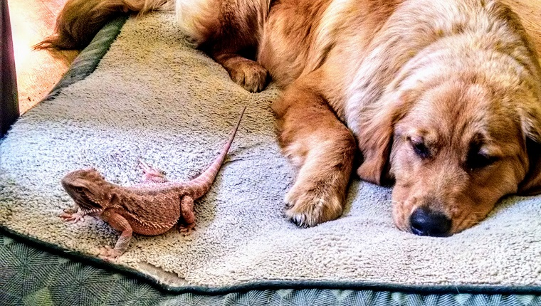 A bearded dragon and her best friend sharing a bed