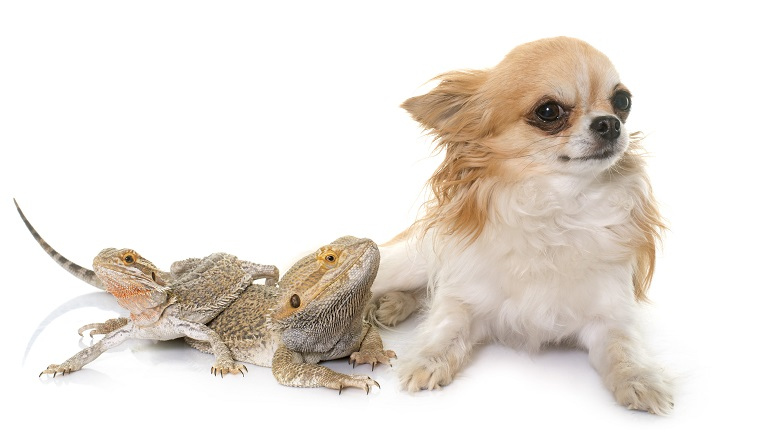 Pogona vitticeps and chihuahua in front of white background