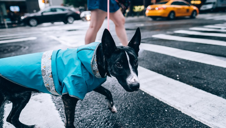 Pet dog on New York City street, after a heavy rain shower in July.