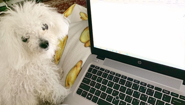 leia the dog sits by laptop and looks at mom