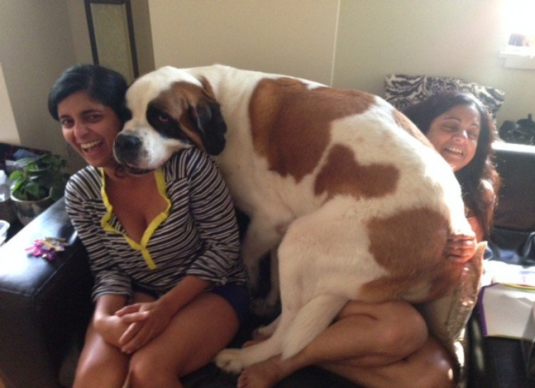 25 Big Dogs Who Think They're Lap Dogs [GALLERY] - DogTime