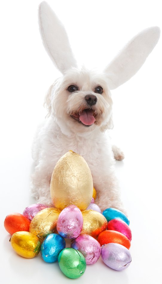 25 Easter Dog Pictures To Make You Smile - Dogtime American Water Spaniel Dogtime
