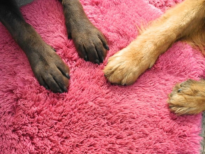 The only sweat glands a dog has are between their toes.