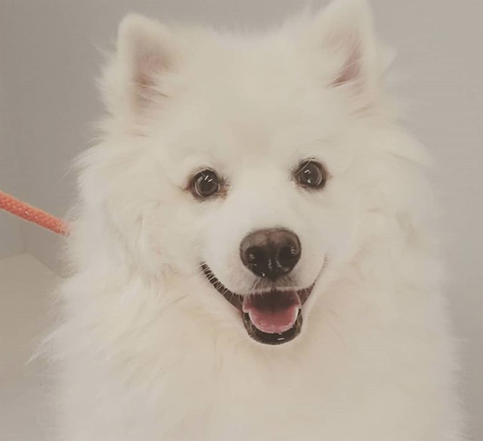 30 excellent american eskimo dog names pictures dogtime