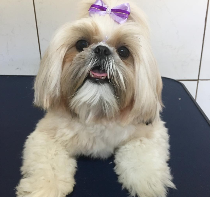 30 Great Names For Shih Tzu Dogs Pictures Dogtime