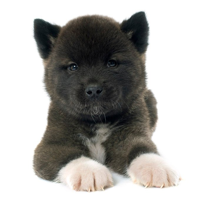 Akita Dogs And Puppies