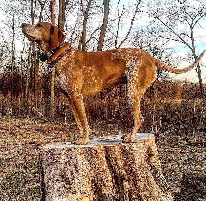 American English Coonhound Dog Breed Information, Pictures ...